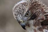 _MG_7410 Red-tailed Hawk.jpg