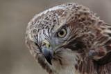_MG_7419 Red-tailed Hawk.jpg