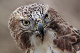 _MG_7476 Red-tailed Hawk.jpg