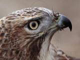 _MG_7484 Red-tailed Hawk.jpg