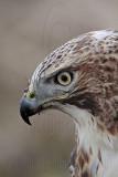 _MG_7511 Red-tailed Hawk.jpg