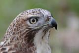 _MG_7532 Red-tailed Hawk.jpg