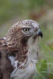 _MG_7546 Red-tailed Hawk.jpg