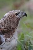 _MG_7552 Red-tailed Hawk.jpg