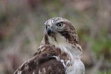 _MG_7571 Red-tailed Hawk.jpg
