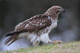 _MG_7610 Red-tailed Hawk.jpg