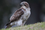 _MG_7619 Red-tailed Hawk.jpg