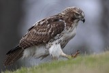 _MG_7688 Red-tailed Hawk.jpg