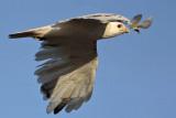 _MG_8496 Leucistic Red-tailed Hawk.jpg