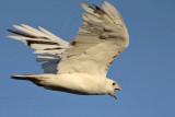 _MG_8501 Leucistic Red-tailed Hawk.jpg