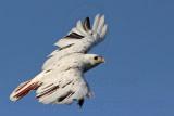 Leucistic Red-tailed Hawk - Katy - Texas -  December 2009