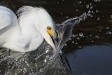 Snowy Egret striking prey - close ups
