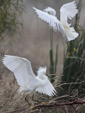 Snowy Egret - fight#1