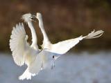 Snowy Egret - fight#2