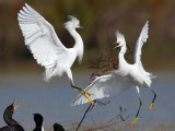 Snowy Egret - fight#3