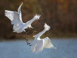 Snowy Egret - fight#4