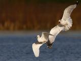 Snowy Egret & Ring-billed Gull - interspecific  kleptoparasitism
