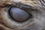 Red-tailed Hawk - nictitating membrane