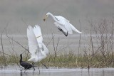 Great Egret - fight#8