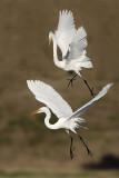 Great Egret - fight#9