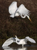 Great Egret - fight#4