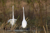 Great Egret - fight#1