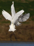 Great Egret - fight#5