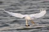 _MG_1227 Snowy Egret.jpg