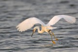 _MG_1233 Snowy Egret.jpg