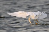 _MG_1234 Snowy Egret.jpg