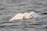 _MG_1254 Snowy Egret.jpg