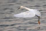 _MG_1558 Snowy Egret.jpg