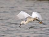 _MG_1591 Snowy Egret.jpg
