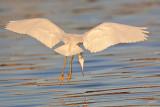 _MG_1988 Snowy Egret.jpg