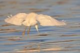 _MG_1989 Snowy Egret.jpg
