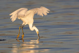 _MG_2040 Snowy Egret.jpg