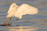 _MG_2041 Snowy Egret.jpg