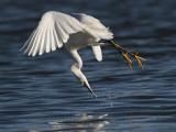 _MG_2336 Snowy Egret.jpg