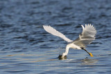 _MG_7035 Snowy Egret.jpg