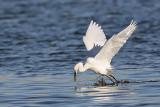 _MG_7036 Snowy Egret.jpg