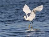 _MG_7073 Snowy Egret.jpg