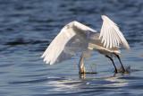 _MG_7074 Snowy Egret.jpg