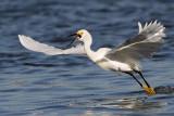 _MG_7076 Snowy Egret.jpg