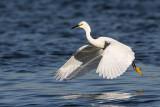 _MG_7080 Snowy Egret.jpg