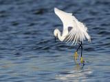 _MG_7110 Snowy Egret.jpg
