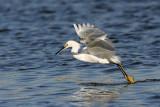 _MG_7114 Snowy Egret.jpg