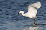 _MG_7115 Snowy Egret.jpg