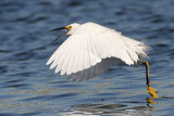 _MG_7116 Snowy Egret.jpg