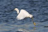 _MG_7117 Snowy Egret.jpg