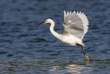_MG_7133 Snowy Egret.jpg